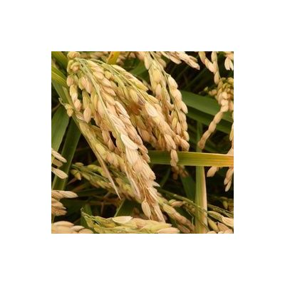 "riz ""Manobi"" 1/2 complet 5 kg bio igp Riz de Camargue"