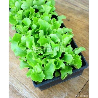Salade plants en motte - BLONDE - LAITUE