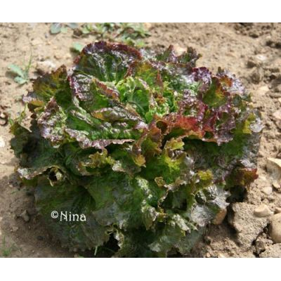 Salades batavia mottes - ROUGE