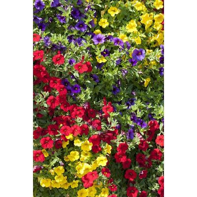 Calibrachoa millonbells - Rose - pot 10cm