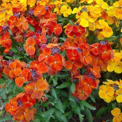 Vivaces fleuries 0.5 litres - GIROFLEE RAVENELLE