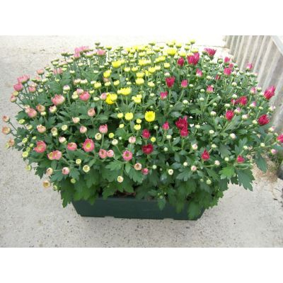 Chrysanthèmes multifleur - Jaune - POT 14CM