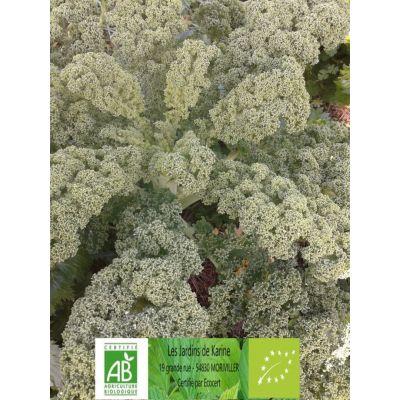 Chou Kale frisé vert BIO
