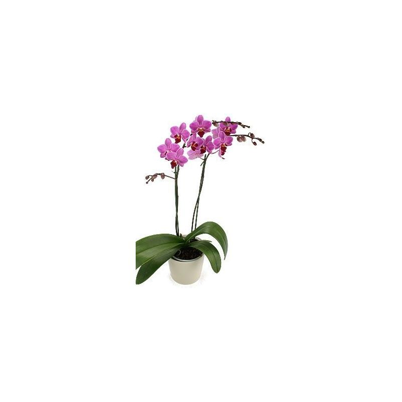 Phalaenopsis  orchidée - CACHE POT DECORATIF