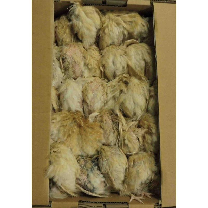 Cailles plumes congelées (6 kg minimum). Pour alimentation animale.