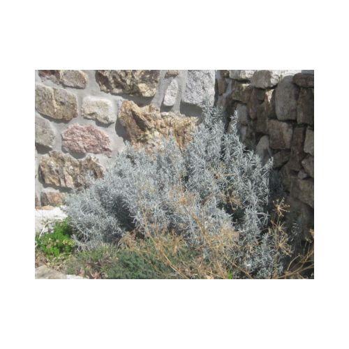 Hydrolat bio de Romarin officinal chémotype camphre
