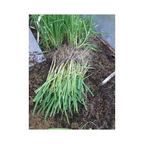 Poireaux - barquette de 50 micro plants